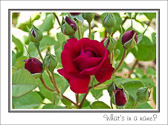 That which we call a rose by any other name would smell as sweet.